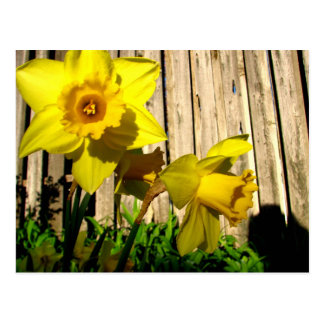 Daffodil Twins Postcard