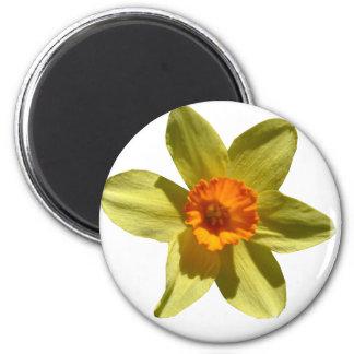 Daffodil, Welsh national flower Magnet