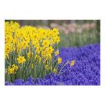 Daffodils and Grape Hyacinth, Keukenhof 2 Photo Print