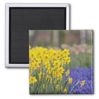 Daffodils and Grape Hyacinth, Keukenhof Magnets