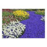 Daffodils and Grape Hyacinth, Keukenhof Photo Print