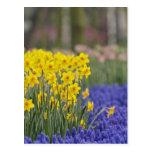 Daffodils and Grape Hyacinth, Keukenhof Postcard