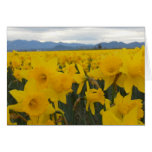 Daffodils Cards
