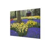 Daffodils, grape hyacinth, and tulip garden, canvas print