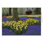 Daffodils, grape hyacinth, and tulip garden, card