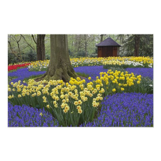 Daffodils, grape hyacinth, and tulip garden, photo print