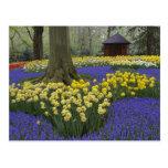 Daffodils, grape hyacinth, and tulip garden, postcards