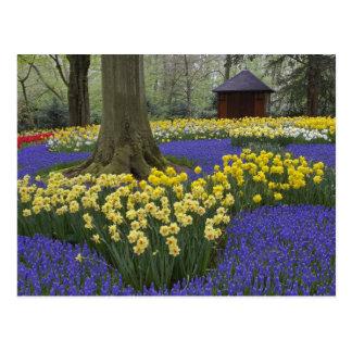 Daffodils, grape hyacinth, and tulip garden, postcard