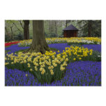 Daffodils, grape hyacinth, and tulip garden, poster