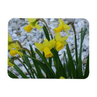 Daffodils Growing Rectangular Photo Magnet
