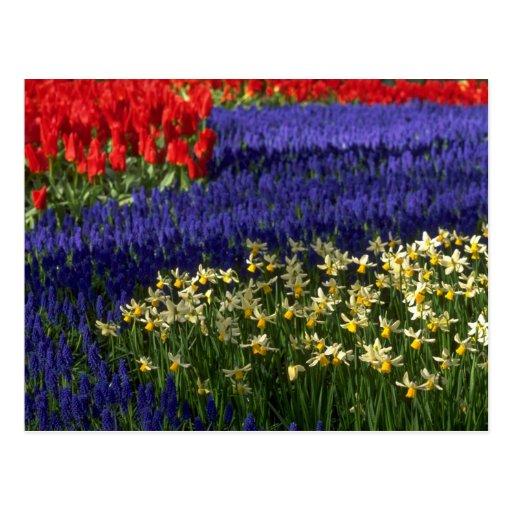 Daffodils, hyacinth and tulips postcard