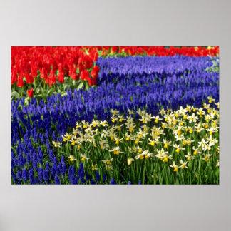 Daffodils, hyacinth and tulips Yellow flowers Print