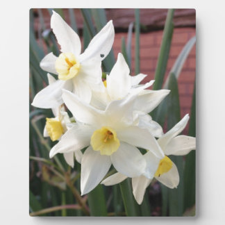 Daffodils in Bloom Display Plaque
