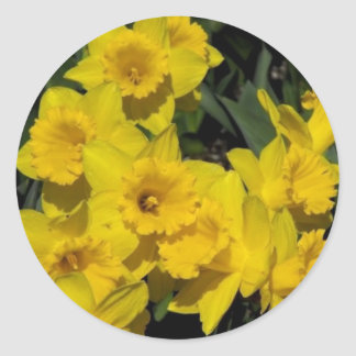 daffodils in spring time 2 classic round sticker
