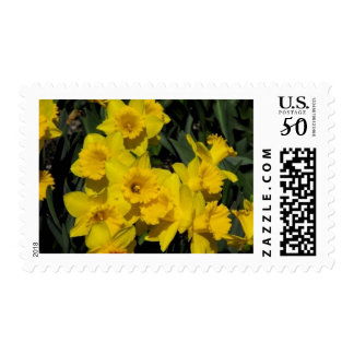 daffodils in spring time 2 postage