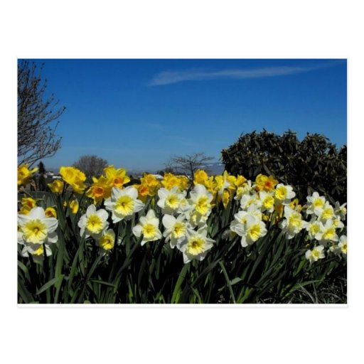 daffodils in spring time postcard