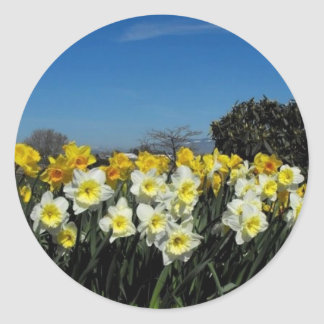 daffodils in spring time round stickers
