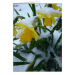 DAFFODILS IN THE SNOW CARD