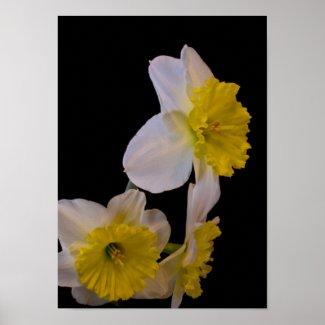 Daffodils on Black zazzle_print