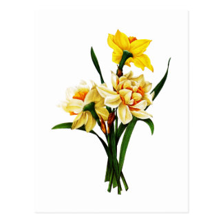 Daffodils or Narcissus By Pierre Joseph Redoute Postcard