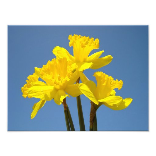 Daffodils Photography nature art prints Blue Sky Photo Art