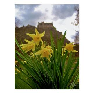 Daffodils [Postcard]