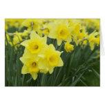 Daffodils RF) Card