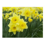 Daffodils RF) Postcard