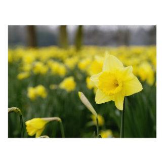 Daffodils (RF) Postcard