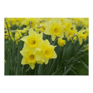 Daffodils RF) Poster