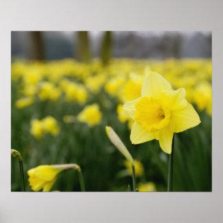 Daffodils (RF) Poster