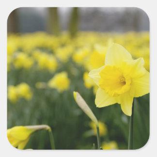 Daffodils (RF) Square Sticker