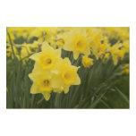 Daffodils RF) Wood Wall Art