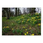 Daffodils. Sophia Gardens, Cardiff, Wales. UK Card