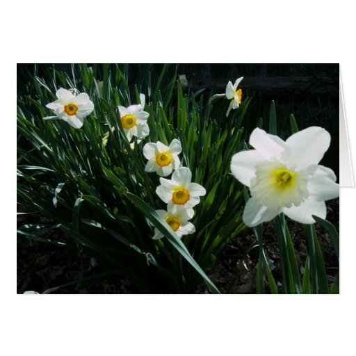 Daffofils for Easter Greeting Card
