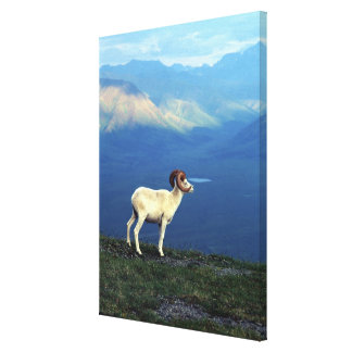 Dahl ram standing on grassy ridge, mountains stretched canvas print