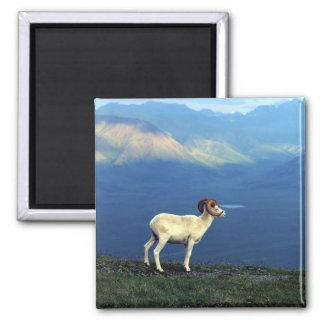 Dahl ram standing on grassy ridge, mountains refrigerator magnet
