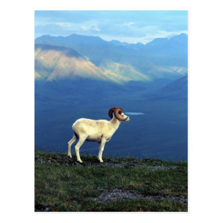 Dahl ram standing on grassy ridge, mountains postcard