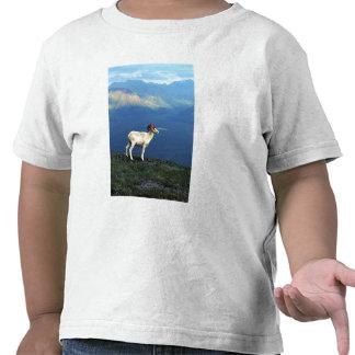 Dahl ram standing on grassy ridge, mountains shirt