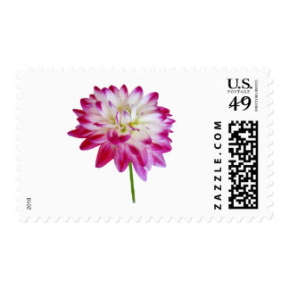 Dahlia Edged in Pink Postage