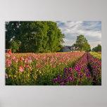 Dahlia Farm--Oregon Posters