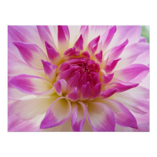 Dahlia Flower art prints Pink White Summer Dahlias