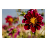 Dahlia Flower--Baby Red Posters