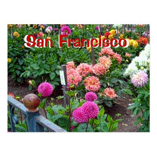 Dahlia Flower Garden in Golden Gate Park Post Cards