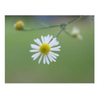 Dainty Daisy Post Card