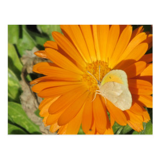 Dainty Sulphur Butterfly on Golden Flower Postcard