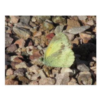 Dainty Sulphur Butterfly Postcard