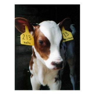 Dairy Calf Calves Baby Cows Farm Kelly Photo Postcard