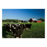 Dairy Cattle and Red Barn Print