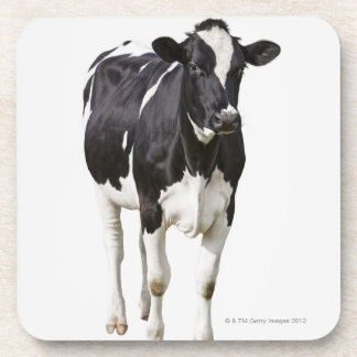 Dairy cow (Bos taurus) on white background Coaster